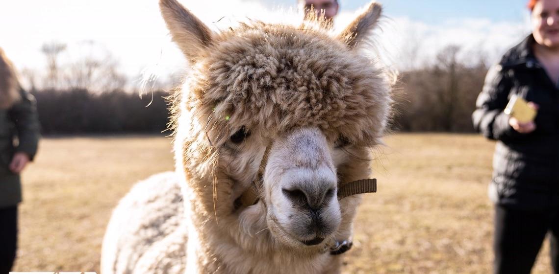 Alpaka – Wenn ein gehyptes Tier auf Yoga trifft