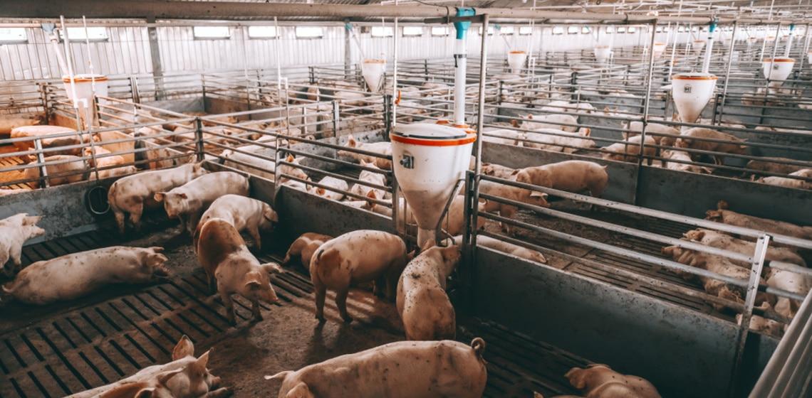 Schweinezucht mit dutzenden Tieren