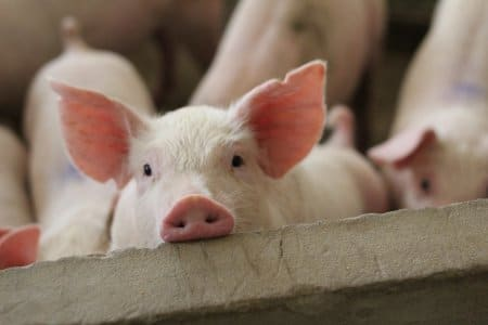 Sauleiwande Studie: Wenn Schweine mit Joystick zocken