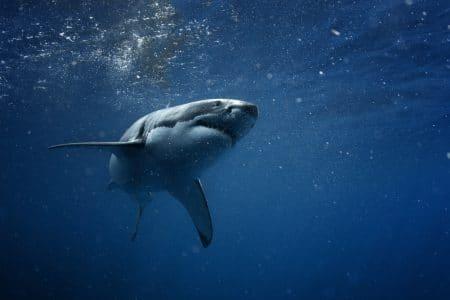 Etikettenschwindel mit Fischprodukten: Österreich weltweit fünftgrößter Importeur von Haifleisch